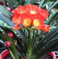 Clivia miniata - 10 Sahin Twin pack - 1 year old