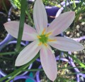 Zephyranthes Grandjax - Pack of 10 bulbs