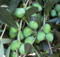 Olive - Coratina 190mm (Pick up only)