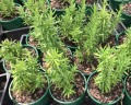 Rosemary Tuscan Blue (Pick up only)
