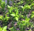 Bay leaf tree in 140mm pot (Pick up only)