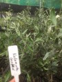 Olive - Kalamata Grafted in 190mm (Pick up only)