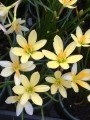 Zephyranthes Ajax - Pack of 10 bulbs