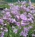 Agapanthus Amethyst - near flowering sized plant