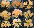 Clivia miniata seedling -  peach flowering cross - 1 year old