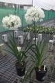 Agapanthus PMB020 (pbr) River Garden White ™ - 30 young plants