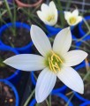 Zephyranthes mesochloa - Flowering size bulb
