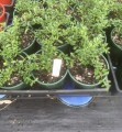 """Finger Lime - """"Chartreuse"""" in 140mm pot (pick up only)"""