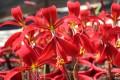 Sprekelia formosissima (Jacobean Lily) - Flowering Size