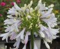 Agapanthus Madison ™ - near flowering size