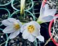 Habranthus caeruleus