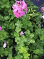 Geranium Ivy Variegated (pick up only)