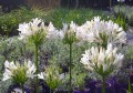 Agapanthus Albus rosea  (the so called pink agapanthus)