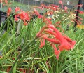 Cyrtanthus mackenii 'orange red'