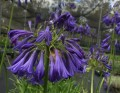 Agapanthus Purple Cloud - Special 10 plant buy of young plants