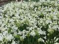 Agapanthus Snowball - special 50 pack buy of young plants