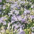 Agapanthus Bella ™ - near flowering size