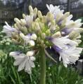Agapanthus PMB012 (pbr) Maxsie ™ - flowering size