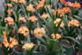 Clivia miniata seedling -  pastel flowering cross - 1 year old