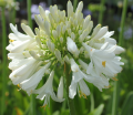Agapanthus Blitzza - near flowering size