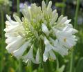 Agapanthus Blitzza - near flowering size