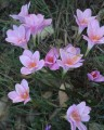 Zephyranthes carinata Pink - Flowering Size