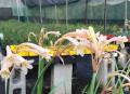 Cyrtanthus mackenii 'Pastel'