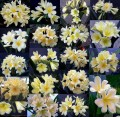 Clivia miniata - Pack of 5 three year old cream/yellow flowering clivia