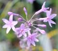 "Tulbaghia ""Fairy Star"" (cominsii x violacea)"