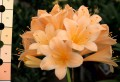 Clivia miniata seedlings - Good Peach flowering crosses - 1 year old