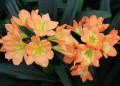 Clivia miniata F2 Sunbursts seedlings pigmented - 1 year old
