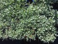 Dichondra argentea Silver Falls (pick up only)