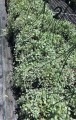 Dichondra Silver Falls Hanging Baskets (pick up only)