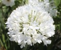 Agapanthus PMB020 (pbr) River Garden White ™ - young plant