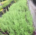 Lavandula stoechas -Italian  (Pick up only)