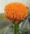 Scadoxus puniceus (Orange paintbrush lily)