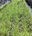 Lomandra confertifolia Little Con (Pick up only)