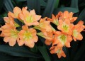 Clivia miniata F2 Sunbursts seedlings pigmented - 2 year old