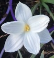 Zephyranthes drummondii - Flowering Size Bulb