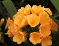 """Clivia miniata - 10 """"European"""" Peach flowering cross seed"""