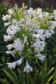 Agapanthus Lilibet ™ - near flowering size