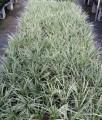 Ophiopogon intermedians alba variegata (pick up only)