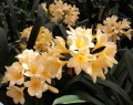 Clivia miniata Good Yellow flowering crosses - 1 year old