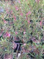 "Gaura lindheimeri ""Belleza dark pink"" in 140mm pot (pick up only)"