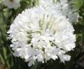 Agapanthus PMB020 (pbr) River Garden White ™ - near flowering size
