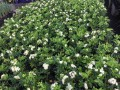Murraya paniculata (pick up only)