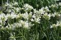 Agapanthus Snowflake