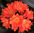 Clivia miniata- 20 multipetal flowering crosses - 2 year old