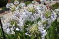 Agapanthus orientalis PMN06  Queen Mum - Special 50 plant buy of young plants