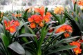 Clivia miniata - Orange Red x Red flowering crosses